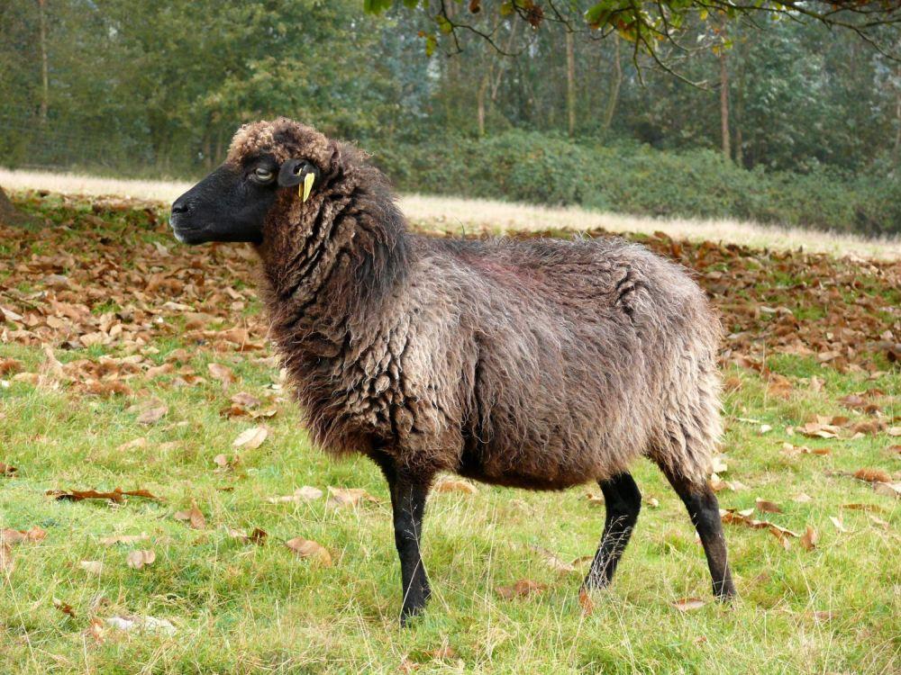 La oveya Xalda, una raza reconocida entre el tronco de las ovejas celtas